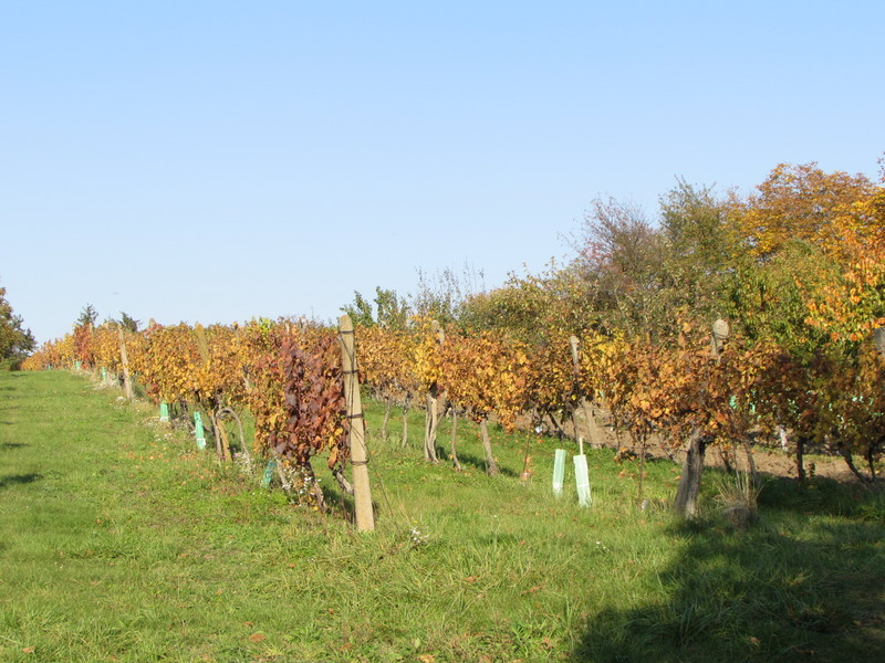 Prodej vinohradu v trati Dolní Mrhoně