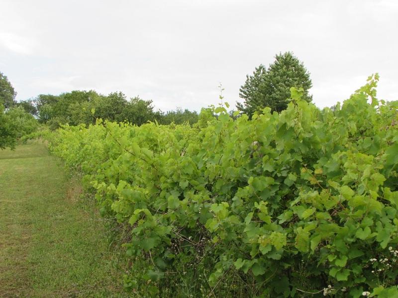 Prodej vinohradu ve Strážnici